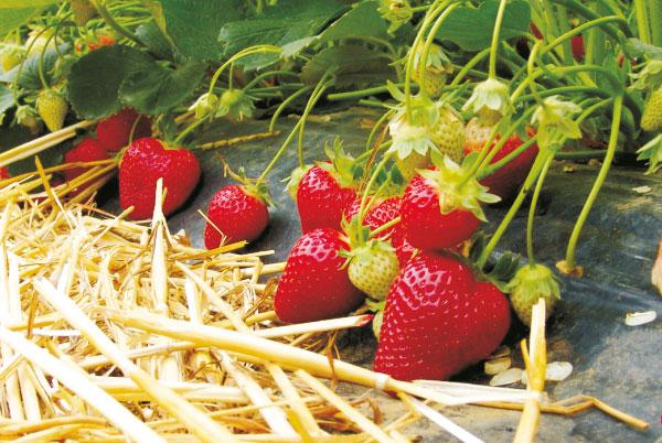 Erdbeeren - sehr frühe Sorten