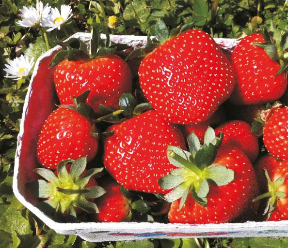 Erdbeeren - mittelfrühe Sorten