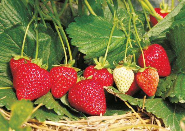 Erdbeeren - mittelspäte Sorten