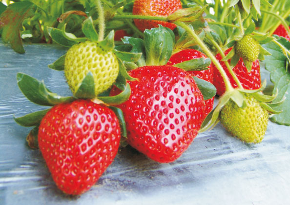 Erdbeeren - späte Sorten