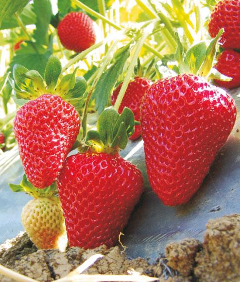 Erdbeeren - remontierende Sorten